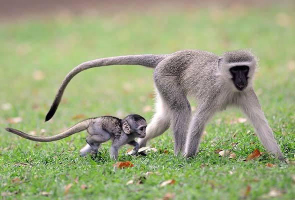 1-vervet-monkey-gc590a