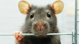 rat_whiskers_blind_people_see