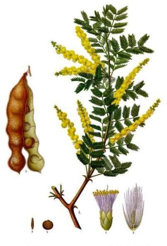 acacia_senegal_-_kohler-s_medizinal-pflanzen-004